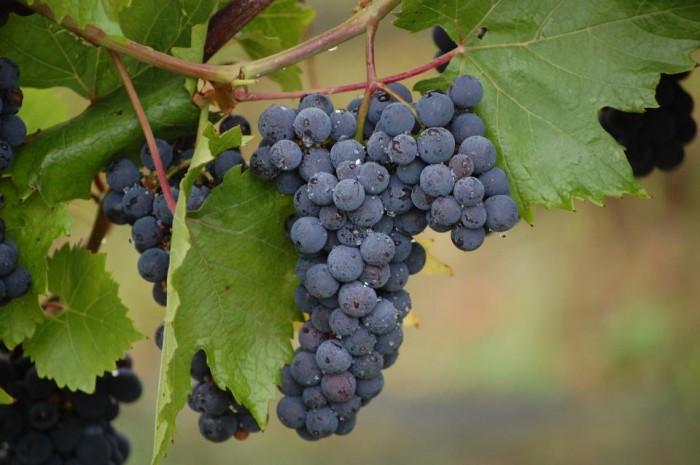 10. LedgeStone Vineyards (Greenleaf)