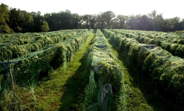 4. Berryville Vineyards (Claremont)