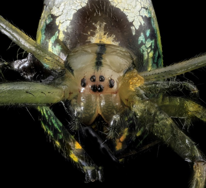 1. Venusta Orchard Spider