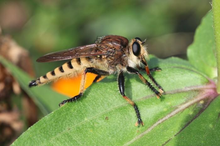 4. Robberfly