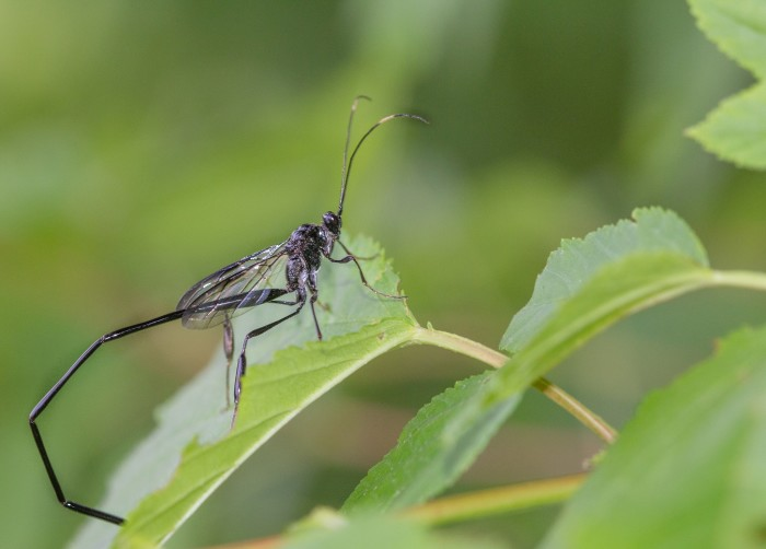 8. American Pelecinid Wasp