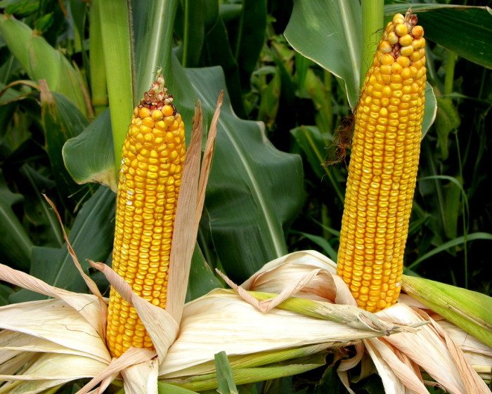10. Love this close-up of corn from Dexter.