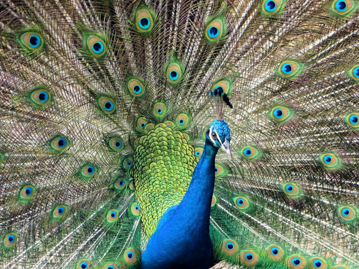 11) The peacock commonly roams Hawaii streets.