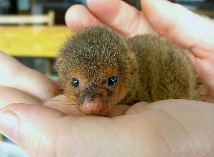 12) This baby mongoose is actually pretty cute.
