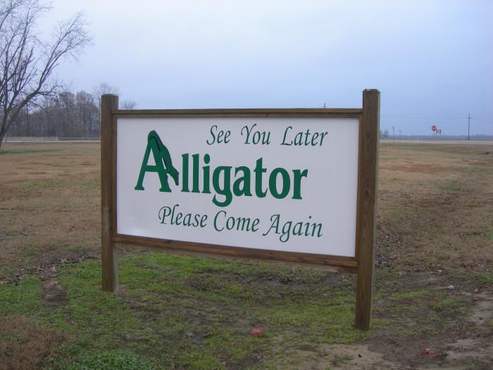 12. Alligator