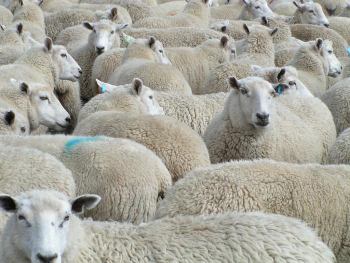 7) No Sheep Herding Down the Streets of Salt Lake City