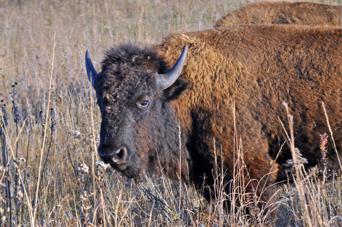 14. Bison, Dunn Ranch Prairie, Northern Missouri