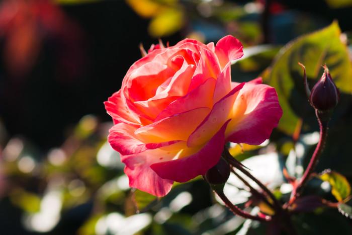 12. Duluth Rose Garden.