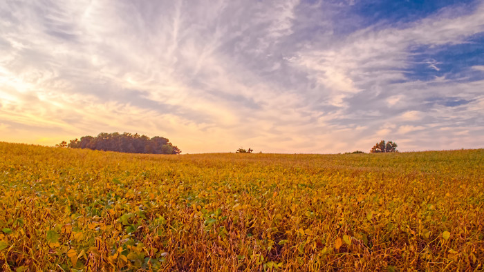3. This is a dairy farm in Noble County. More specifically, these are beautiful golden soybean crops.