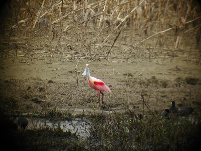16. Roseate Spoonbill, Mingus National Wildlife Refuge