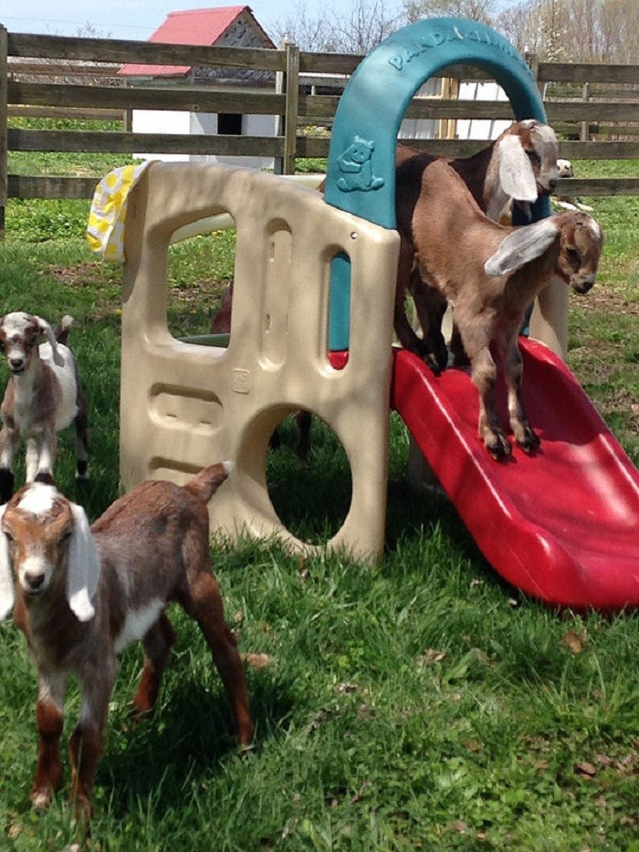 8. Goats obviously LOVE playtime, too! This photo is HILARIOUS!!!