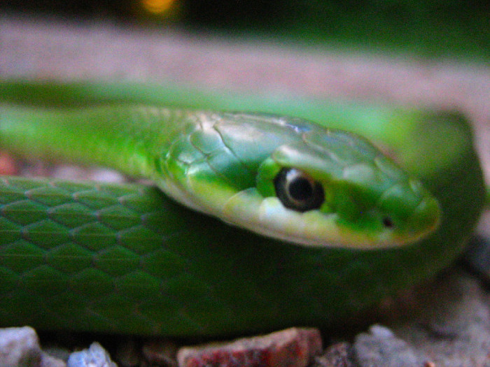 17. Rough Green Snake