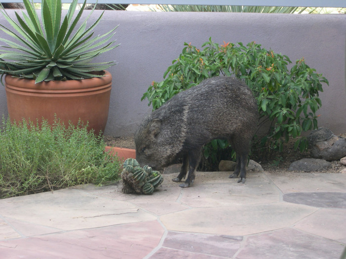 13. Javelinas breaking into your yard. Or any wild animal, really.