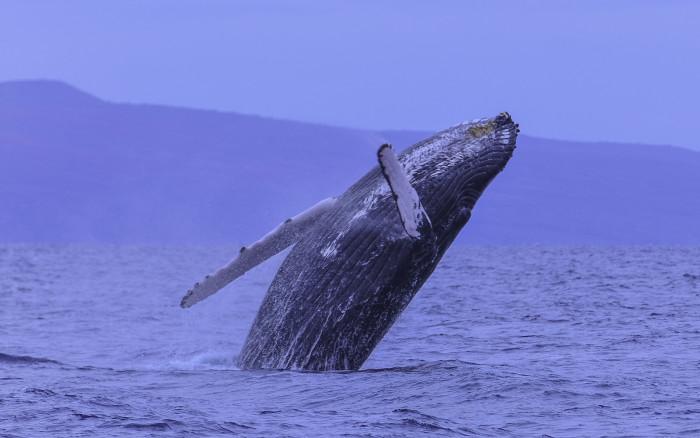 3) A gorgeous humpback whale off the coast of Maui.