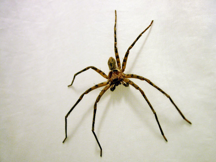 3) Cane Spiders