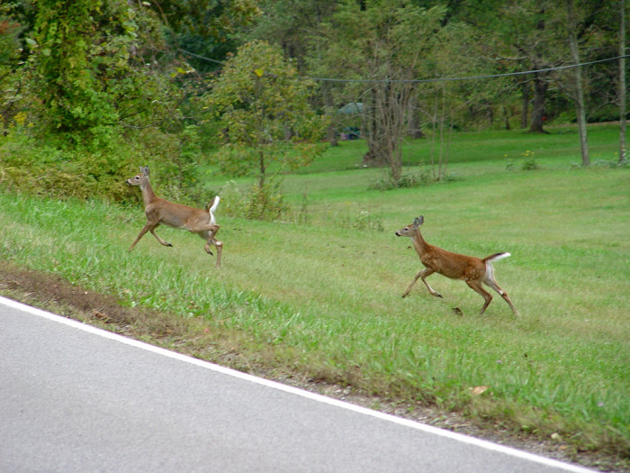 9. We have become really good at dodging bounding deer that love to play Frogger with our cars.