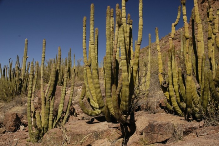 8. Organ Pipe Cactus National Monument for a different cactus landscape.