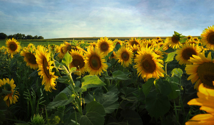 5. Marvel at the beauty of this sunflower field near Waterman.
