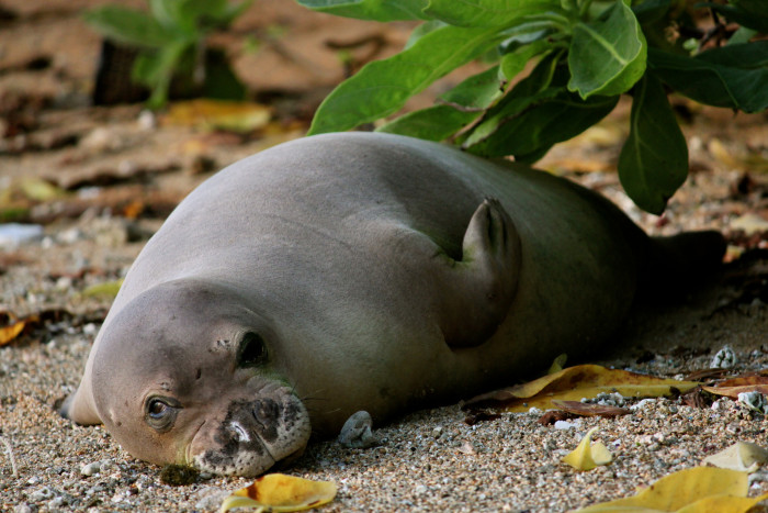 6) The endangered Hawaiian Monk Seal loves to lounge on the beach.