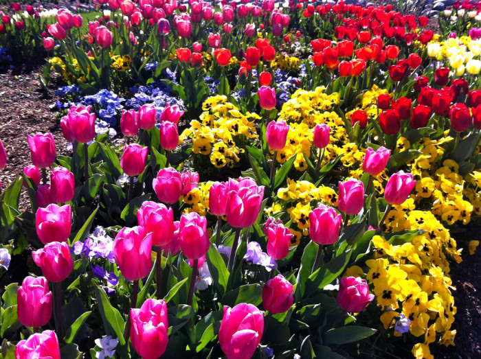 7) Tulip Festival Thanksgiving Point