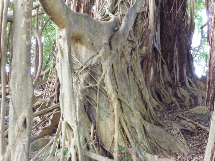 7) These trees, found throughout Hawaii, are both beautiful and creepy.