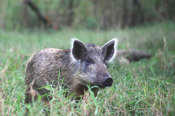 7) Watch out for wild boars.