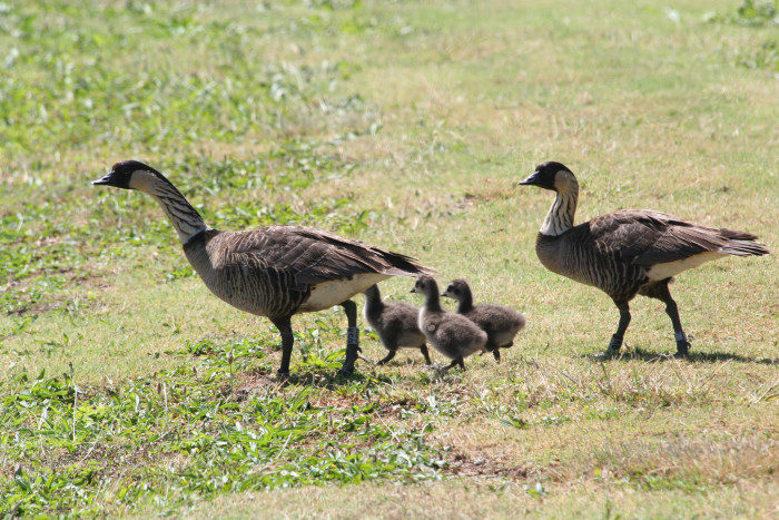 8) The Hawaii State bird, the nene, and goslings.