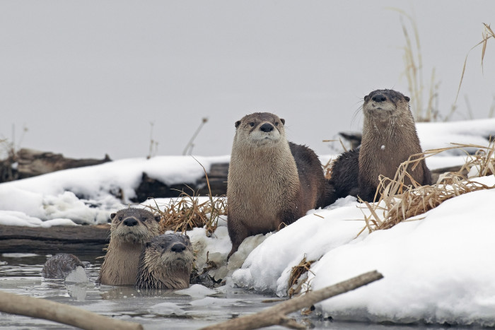 8. River Otters, Squaw Creek