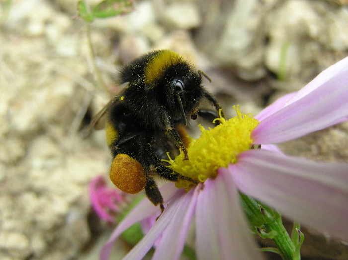 3. The American Bumblebee