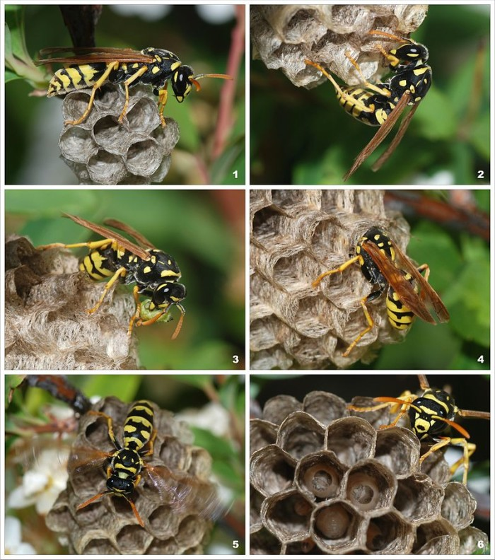 1) Paper Wasp Colony