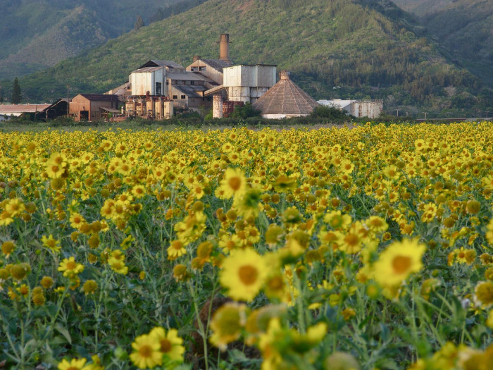 9) These yellow flowers provide a stunning backdrop for a seemingly abandoned farm.