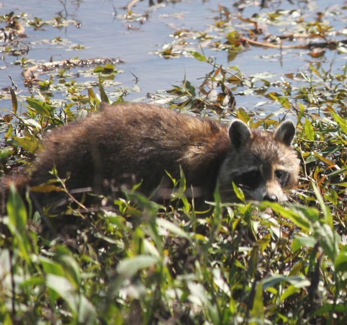 9. Raccoon, Squaw Creek