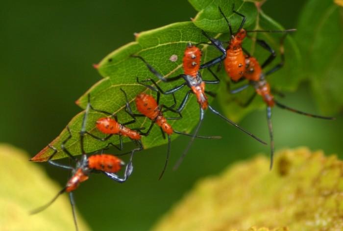 2) Assassin Bug