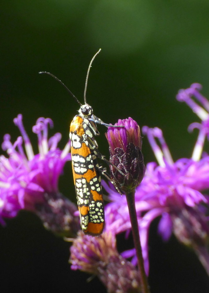 10. The Ailanthus webworm moth.