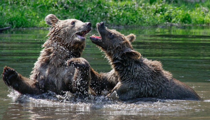 8. These wild bears fighting, or playing, in Robbinsville.
