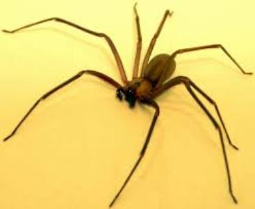 3) Brown Recluse