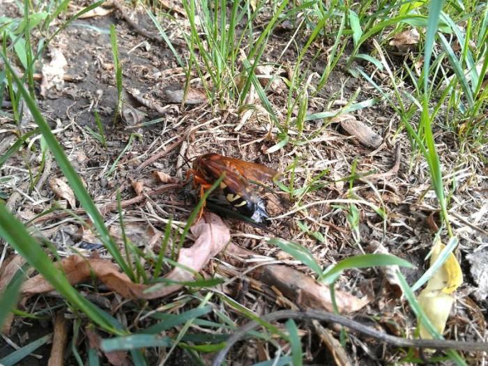 5) Cicada Killer Wasp
