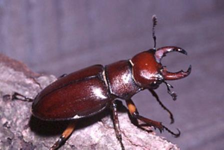 7) Pincher Bug