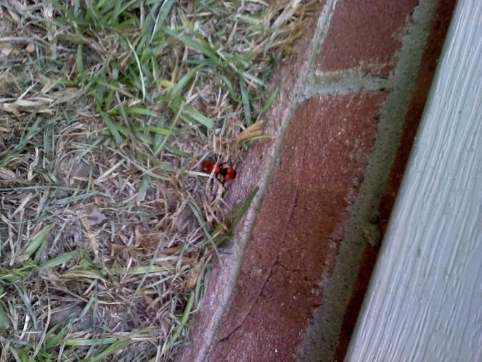 8) Red Velvet Ant