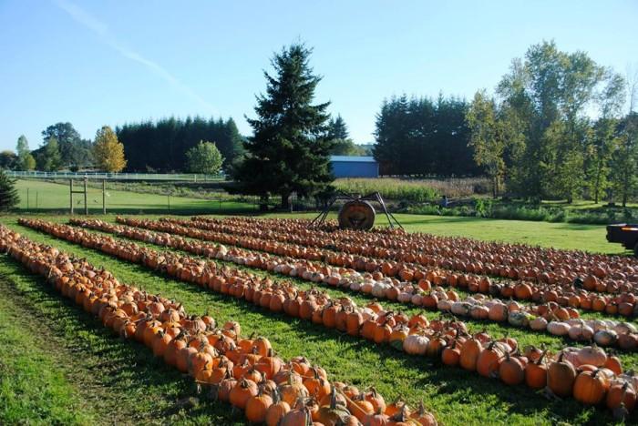 6) Rysers Farm Pumpkin Patch, Tualatin