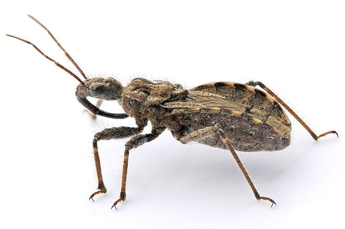 2. The Assassin bug