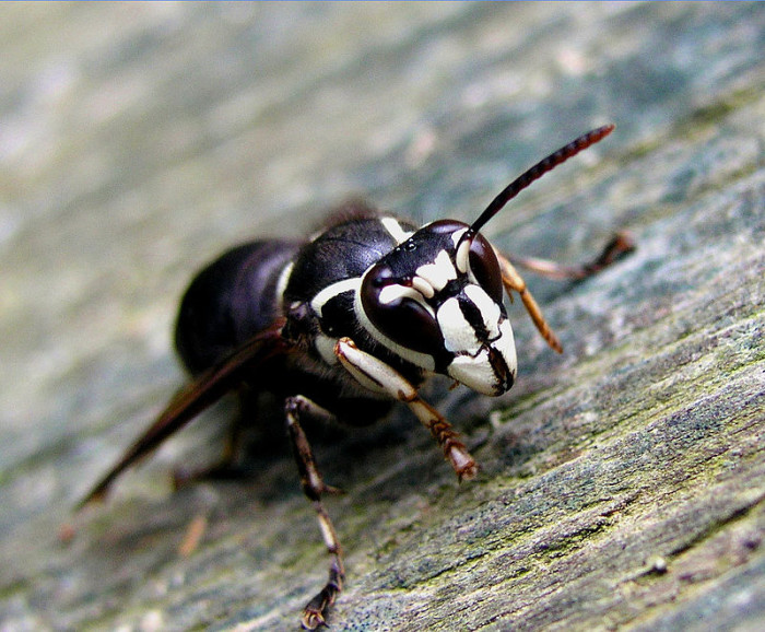 4. The Bald-faced Hornet
