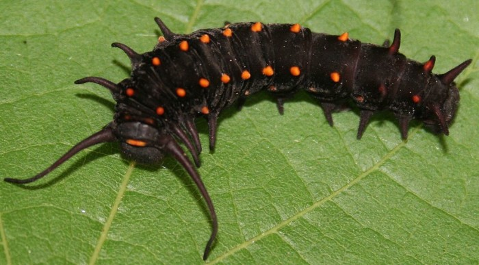 9. The Pipevine swallowtail