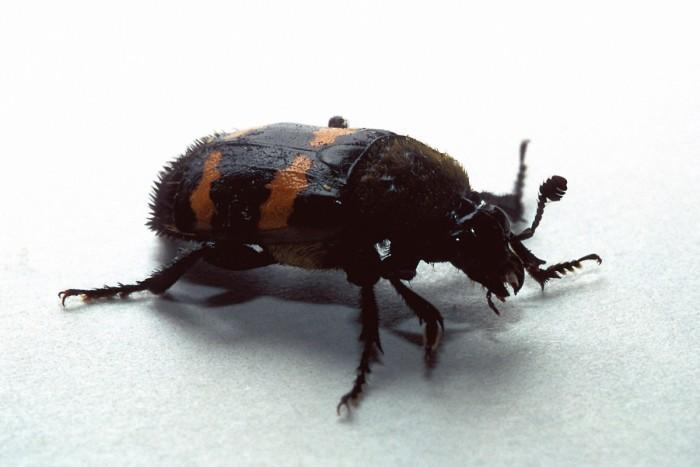 1. American Carrion Beetle