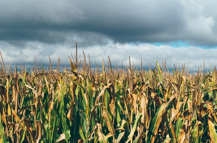 7. There sure is a lot of corn here.