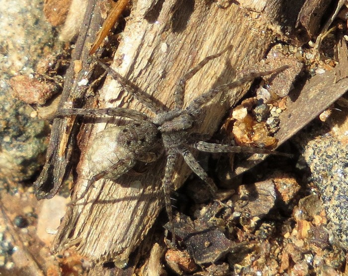 5. Carolina Wolf Spider