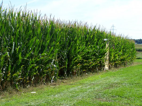 8. The Amazing Maze and Pumpkin Patch