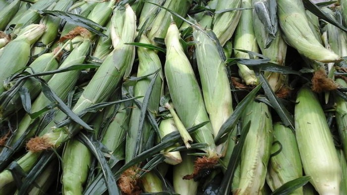 3. At Peter's Pumpkins & Carmen's Corn, you can pick a variety of veggies and fruits but nothing beats their corn!