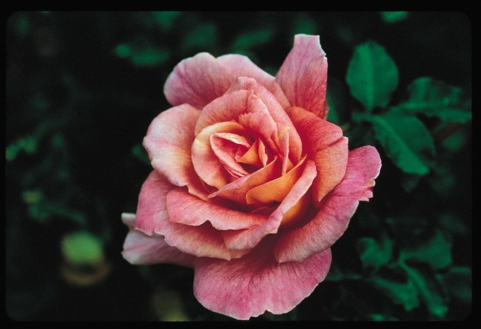 2) The Gardens of the American Rose Center