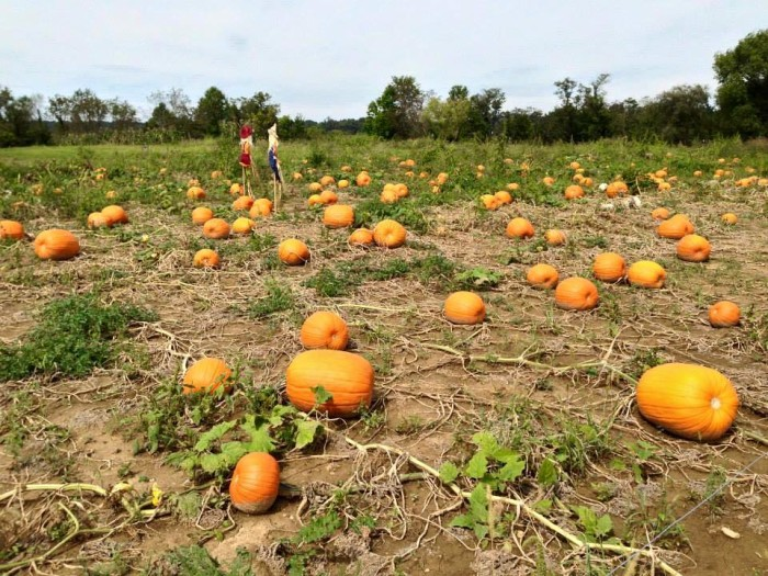7. Libby's Pumpkin Patch (Albany)